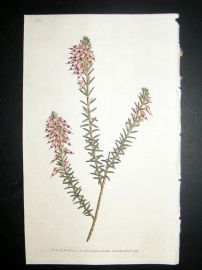 Curtis 1787 Hand Col Botanical Print. Herbaceous Heath #11,